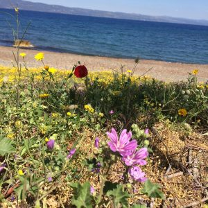 Flowers by the beach, with Turkey in the distance